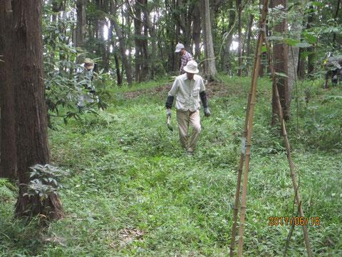 ヤマユリの周辺の草を刈る作業の開始です