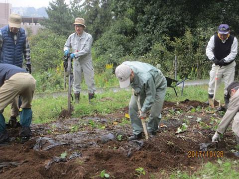 芋を掘り出す作業を慎重に行いました