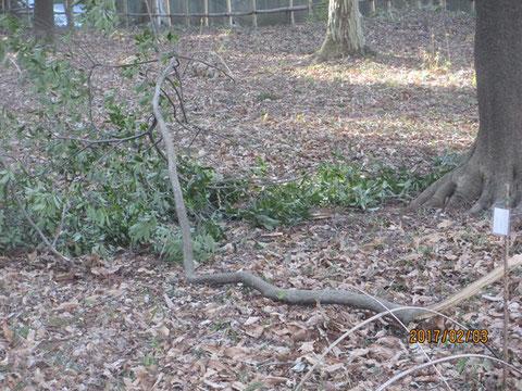 強風でこんな枝まで折れて、落下しています