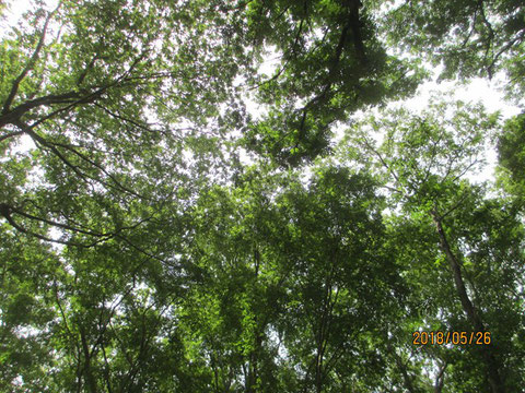 空を見上げると、気持ちの良い若葉でいっぱい