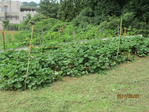 サツマイモは収穫が楽しみです
