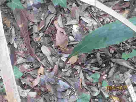 サイハイランですが、新しい葉が出てきていたのですが、古い方の葉は枯れてしまいました