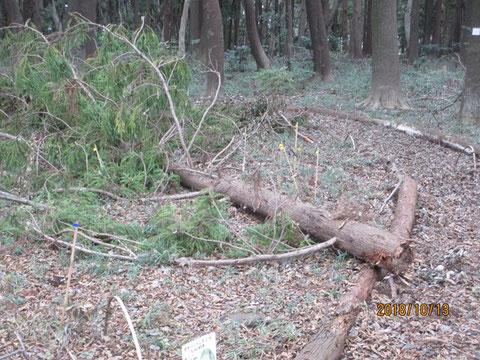 杉の木が途中から真っ二つに折れていました