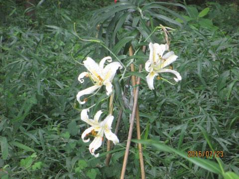 まだヤマユリの花が残っています