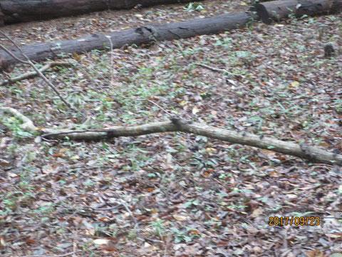かなり太い枝が落ちていて、活動中でなくて幸いです