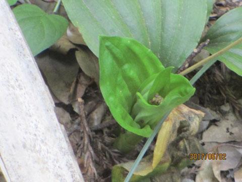 コクランの新葉と花芽が出てきました