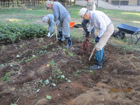 芋の収穫作業