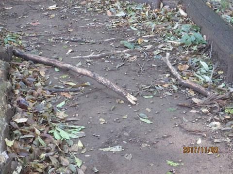 かなり太い枯れ枝が散乱しています