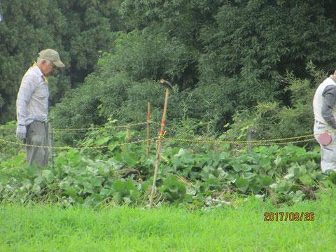 サツマイモの蔓返し