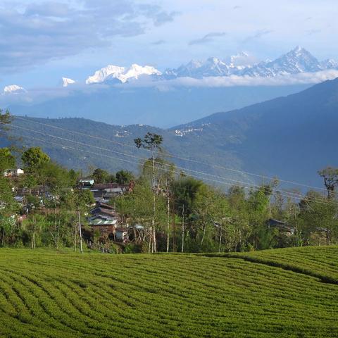 Temi-Teegarten in Sikkim