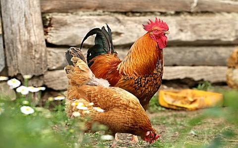 Gammarus im Hühnerfutter und Wachtelfutter, im Gänsefutter und Entenfutter sorgt für ausbalancierte Eiweißversorgung der Tiere, für gutes Wachstum und Legeleistung, sowie für starke Immunität.
