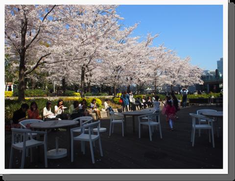 檜町公園で満開3日間 みっちりお花見^^*!