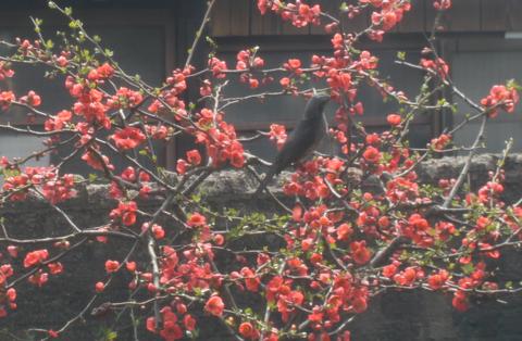ヒヨドリに気づかれぬよう網戸越しの撮影のため、少しボケているがボケの花だからいいか!