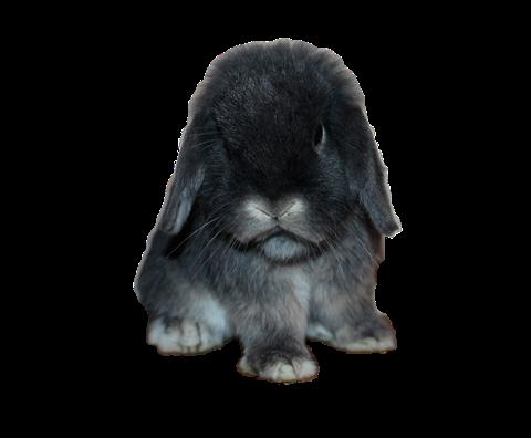 карликовый-кролик-баран
