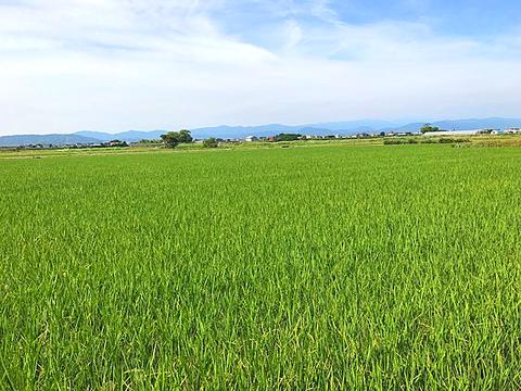 自社の稲田の写真