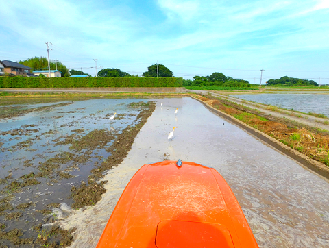 代掻き作業中の稲田に集まるサギ