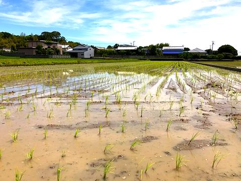 農薬・肥料・除草剤不使用の稲田に植えたばかりの稲