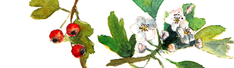 haies, champêtre, association, rurale, tarn, 81, taille, têtard