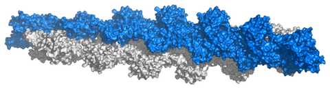 atomic structure of an actin filament with 13 subunits, based on actin filament model of Ken Holmes; surface representation, rendered with PyMol