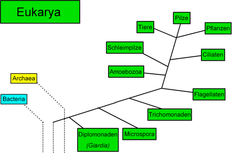 Kladogramm Eukarya