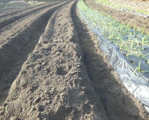 作りたての畝(うね)は、「ほっかほっか」の土(つち)です!!