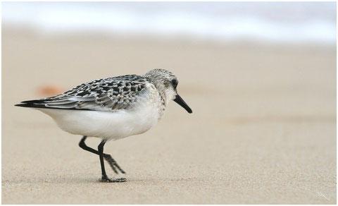 Bécasseau sanderling  ©JLS
