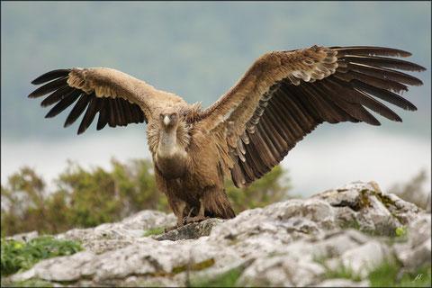 Samedi 8 mai 2010    Basse-Navarre :    Les vautours étaient là ! Pyrénées atlantiques © JLS