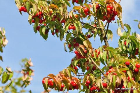 Cornus mas- Kornelkirsche - Wildbeeren - Wildfrüchte - Wildsträucher - Biodiversität - Heckensträucher - Artenvielfalt