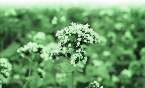 蕎麦畑に咲く白い花