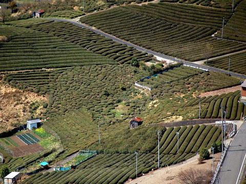 寒暖の差が激しく霧が濃いこの場所は茶の生産に最適