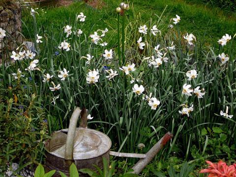 saisonal bepflanzter Kreis mit Dichternarzissen