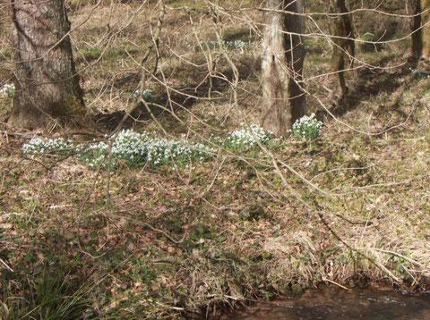 Schneeglöckchen (Galanthus nivalis) an der Moosalb bei Fischweier