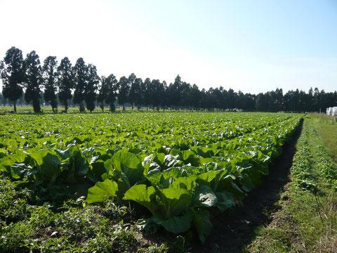 加賀白菜の検定圃場