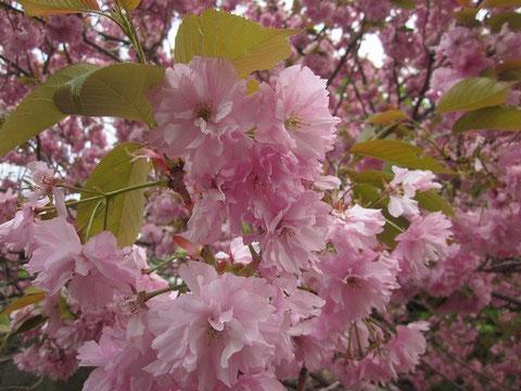 2014.5.18 桜(関山)                 松前公園にて