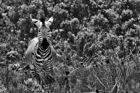 Andreas Maria Schäfer, Fotografiewelten, fotograph1956, Südafrika, Zebra, Safari, Schwarzweiss,