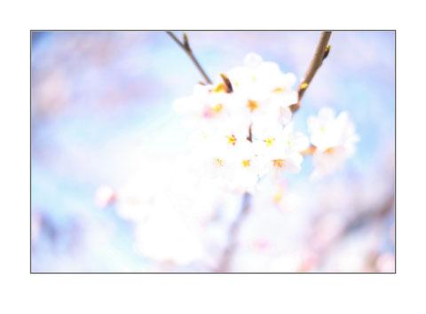 Andreas Maria Schäfer, fotografiewelten,fotograph1956,Ausstellung,Hanami,Sakura,High Key,Kirschblüte,Frühling,Osaka,Nara,Japan,Marburg,Stresemannstrasse,Galerie 36,Jugendamt