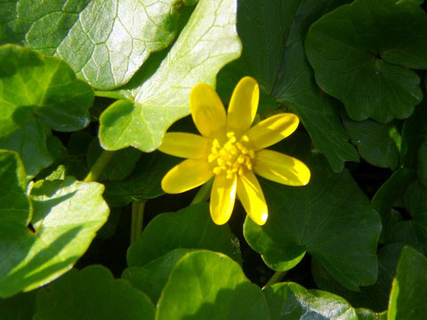 Scharbockskraut (ranunculus ficaria) Blüte