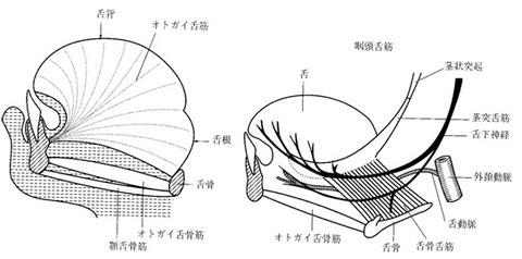 図6 外舌筋の構造(模式図)