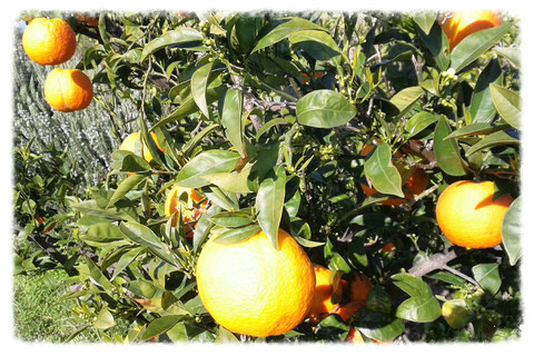 Orangen am Baum