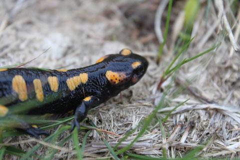 Píntega (Salamandra salamandra)