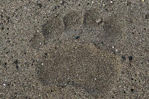Fußabdruck eines Grizzlys