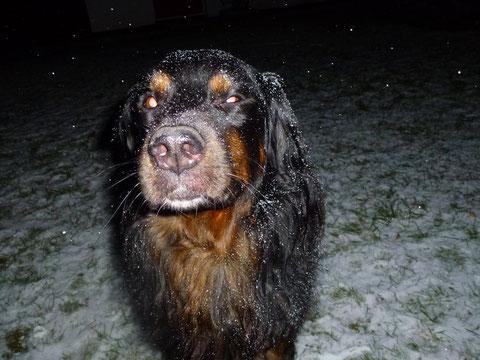 Leonberger Berner Sennenhund Rudi