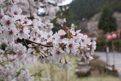 桜 枝 散り始め