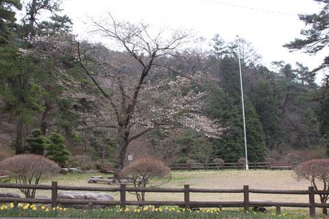芝生広場 桜