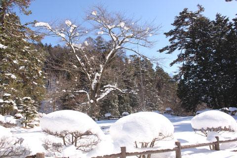 芝生広場 桜 積雪