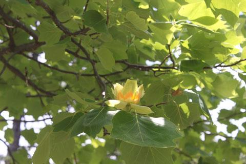ユリノキ 花