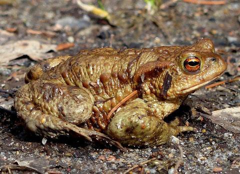 Erdkröte (Foto: naturgucker.de [M. Sprengel-Krause])