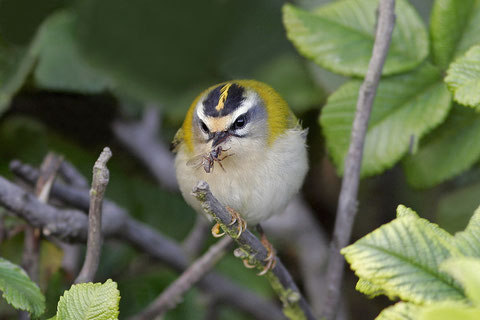 Here we have the big bites! Firecrest