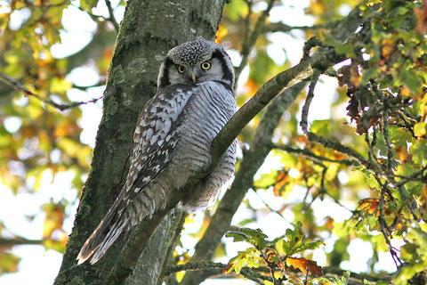 Rare guest from the far north: Northern Hawk-Owl