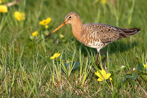 Two threatened beauties: Black-tailed Godwit and Marsh Marigold